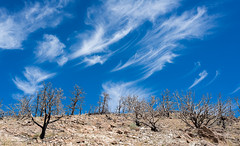 Burned Pinyon/Juniper Forest (Gentilcore) Tags: day nevada greatbasin pinusmonophylla nyecounty juniperusosteosperma burnedarea monitorrange pwpartlycloudy humboldttoyaibenationalforest pjproject elkhorn2