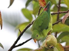 green bird fauna canon eos rebel backyard kiss lorikeet parrot 300mm hanging tele vernal x4 550d canonef300mmf4lisusm t2i vernalhangingparrot loriculusvernalis indianhangingparrot indianlorikeet greenhangingparrot