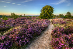 Heath in bloom (eriksmits) Tags: sunset tree netherlands heather nederland ede heath gelderland