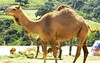 Camello (copito_m) Tags: naturaleza color nature animal nikon animales mywinners abigfave aplusphoto