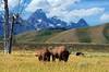 Echo of the American West DDZ_8096 (NDomer73) Tags: july 2014 tetons mammal scenic americanbison bison 22july2014 grandtetonnationalpark grandteton