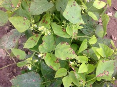 Anglų lietuvių žodynas. Žodis lima bean plant reiškia lima pupelės augalų lietuviškai.