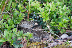 Vipera berus. (joeljir_) Tags: snake adder kyy vipera huggorm berus kreuzotter