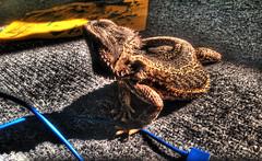 Arrow Disc 2 (Michael Anthony Ralph) Tags: pet photoshop carpet reptile lizard arrow hdr highdynamicrange beardeddragon taryn usbcable photomatixpro tonemapping hdrmix detailenhancer iphone5 lizarddisc