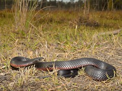 Red-bellied Black Snake Pseudechis porphyriacus (tropidechis2) Tags: snake venomoussnake blacksnake elapidae pseudechisporphyriacus redbelliedblacksnake australiansnake elapid pseudechis