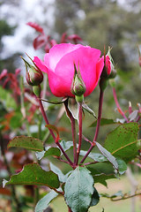 Rose Buds (Hakgala Botanical Garden) (Achala Photography) Tags: flowers flores flower fleurs bunga 花 꽃 鲜花 цветы achala rajapaksha ดอกไม้ फूल الزهور ফুল மலர்கள் මල්