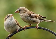 House Sparrows (warren hanratty) Tags: nature wildlife gloucestershire housesparrow nailsworth wildbird warrenhanrattyphotography