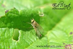 mosca-en-una-hoja (Edi Marti) Tags: naturaleza flores insectos flower macro hojas photography spider paisaje aves araa escarabajo manzanilla oruga macrofotografia edimarti pp8307