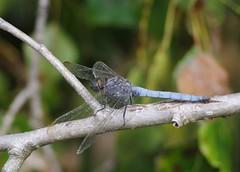 Drme (zabou256 aussi sur Ipernity) Tags: insecte insect insekt libellule drme odonate pentax k30 pentaxk30