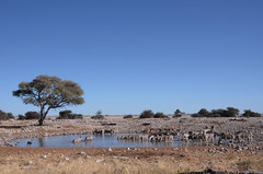 KCC_0215 (kccornell) Tags: africa park black water hole national zebra faced impala namibia oryx etosha springbok gemsbok okaukuejo