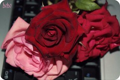 ربـــي (bebe0o0) Tags: flower ورود زهرة ورد ورده أزهار bebe0o0