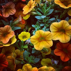 Flowers #flowers #beautiful #garden (zairakhan) Tags: square squareformat hudson iphoneography instagramapp uploaded:by=instagram