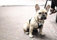 Harvey (Pamela Saunders) Tags: dog vancouver puppy bulldog frenchie gastown