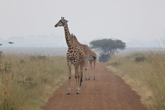 IMG_4050 (Jarod Burns) Tags: africa nationalpark kenya wildlife nairobi safari giraffe nairobinationalpark