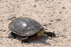 2014 Painted Turtle (DrLensCap) Tags: road robert animal wisconsin turtle painted wildlife amphibian national marsh wi kramer dike refuge horicon mayville