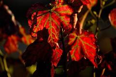 vine leafs at autumn (rowa303) Tags: vine leafs