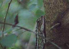 (Chameleon) (Ashraful Tareq) Tags: park canon chameleon tareq mymensingh sarinda