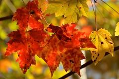 Banning S.P. (AZSunsets) Tags: fall minnesota maple foliage banning