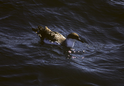 canada birds novascotia northamerica greatershearwater puffinusgravis shearwaters