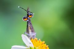 It's a Jungle out There (Sharleen Chao) Tags: urban color macro canon butterfly dof bokeh taiwan 100mm     cornelian itsajungleoutthere macromonday  deudorixepijarbasmenesicles  canoneos5dmarkiii  newtaipeicity commoncornelian