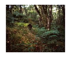 Mossy Tree Trunk (osh rees) Tags: autumn trees 120 mamiya film wales forest woodland landscape moss woods fuji rangefinder scan velvia epson medium format ferns llanberis snowdonia 50 rvp 80mm padarn v500 7ii
