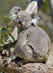 Koala Bear (aussiegall) Tags: bear native australian koala simbio