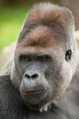 2014-09-04-12h40m11.272P9802 (A.J. Haverkamp) Tags: germany zoo gorilla krefeld kidogo dierentuin westelijkelaaglandgorilla httpwwwzookrefeldde canonef500mmf4lisiiusmlens dob15112000 pobgivskuddenmark