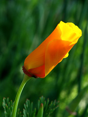 nue-tête (sabine-43) Tags: fleurs eschscholzia