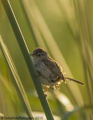 Marsh Wren (Raddykrish Photography) Tags: bird nature beauty birds photography wildlife wren naturephotography marshwren coyotehillsregionalpark ebparksok 2015birdlist