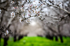 Day 50 ~ almond blossoms and a dreary day (champbass2) Tags: day50 day50365 3652017 day365project california usa almondblossoms dof closeup winterweather atasteofspring almondorchard