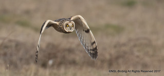 Short Eared Owl @ Portland Bill