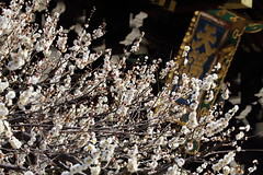 Plum at the old shrine (Teruhide Tomori) Tags: flower spring kyoto japon japan shrine plum ume tree kitanotenmangushrine 京都 春 梅 花 日本 北野天満宮