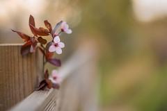 Spring fence - HFF! (Nathalie Le Bris) Tags: blur bokeh fence fleur flor flower printemps céret primavera hff