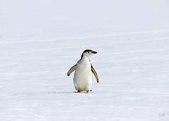 Chinstrap Penguin (Fiona Smith (Prev. Fiona McAllister Photography)) Tags: chinstrap penguin chinstrappenguin antarctic antarctica birds seabird alone single solitary nature naturalenvironment polar ice snow