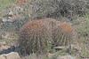 CAD0006109a (jerryoldenettel) Tags: 170324 2017 barrelcactus cactaceae caryophyllales coreeudicots ferocactus ferocactuswislizeni fishhookbarrelcactus lunaco nm springcanyonstatepark wildflower cactus flower