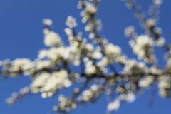 White lights - Weiße Lichter (Sven Bonorden) Tags: weis white bokeh unschärfe unscharf weisdorn whitethorn strauch ast zweig bush branch blüten blossom bloom blühen haldehaniel frühling spring licht light canon macro makro