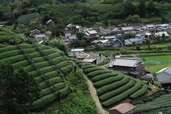Tea plantations (dmitri.i) Tags: japan matcha tea plantations hills village