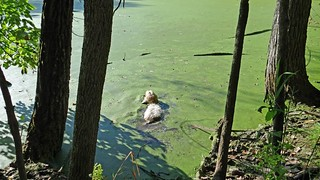Lucy Swimming in one of the hidden ponds in the forest.