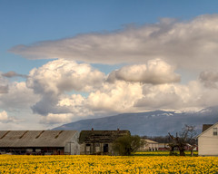 Cloudporn and the daffodils. (Brendinni) Tags: hdr skagitvalley daffodils structure barn farmlife house fields field foothills freezinglevel clouds cloudporn anvil squall landscape blueskies afternoon trees tree blue yellow green