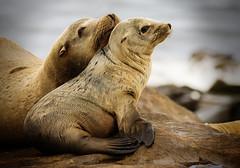 Mom and Baby Seal (Gwmullis) Tags: gregmullisphotography la jolla cove seal san diego