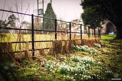 Messy fence (w.mekwi photography [here & there]) Tags: bokeh uk dof snowdrops hff fencefriday outdoors messy nikond800 depthoffield wmekwiphotography snow