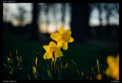 Daffodils - Minolta 50mm F1.7 (Falcdragon) Tags: flowers spring sonya7alpha ilce7 50mm minoltaaf50mmf17 eveninglight liège belgium bokeh depthoffield