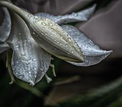 gouttelettes (Pierre.Pomerleau) Tags: fleurs blanche gouttelettes droplets flower white