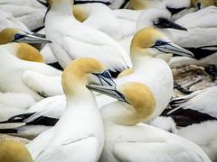 Australasian Gannets' couple (Lanceflot) Tags: australasian gannet seabird bird couple colony newzealand cape kidnappers takapu hastings north island breeding cheeks
