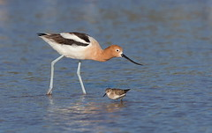 American avocet Least sandpiper size comparison Gilbert water ranch az (mandokid1) Tags: canon canon500f4 1dx birds arizona