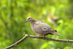 Paloma sabanera (Ambiró) Tags: zenaidaauriculata palomasabanera tabio cundinamarca eareddove colombia birdwatcher