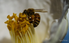 Hard at work (SpencerTheCookePhotography) Tags: bee flower pollen nature outdoors bumblebee 100mm macro canon 7d explore