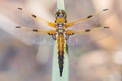 Libellula quadrimaculata (ROQUE141) Tags: libellula quadrimaculata elgrove galicia españa