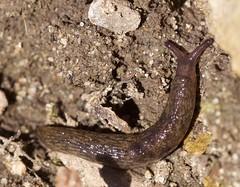 Gastropoda (Vicinum) Tags: slugs gastropoda