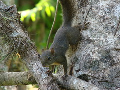 Sciurus aestuans (Sereiazinha Si) Tags: sciurusaestuans caxinguelê serelepe esquilo squirrel braziliansquirrel tapirái sãopaulo brasil brazil atlanticrainforest mataatlântica mamífero mammal roedor animal trilhadostucanos